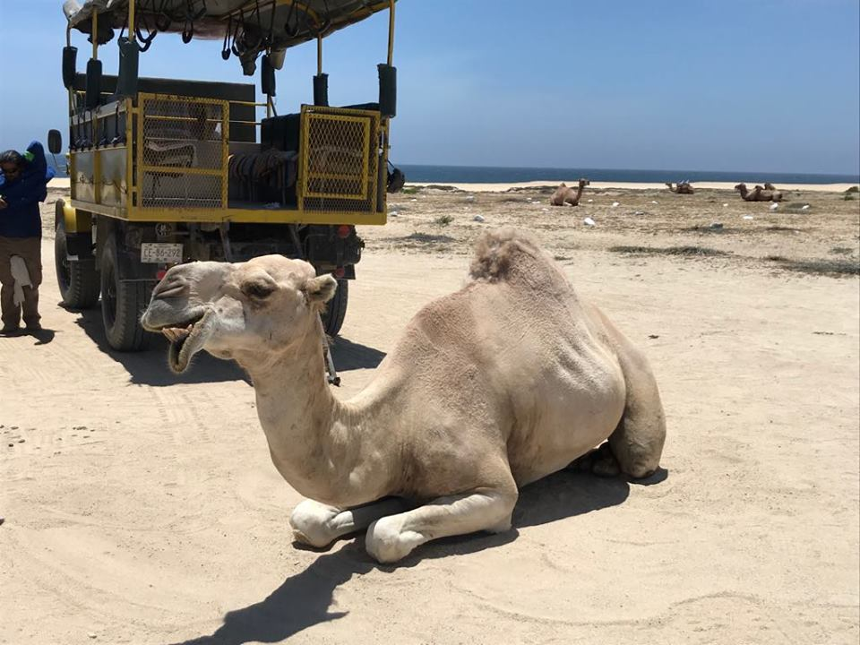 Cabo San Lucas, Camel & Mexican Outback Adventure and Lunch