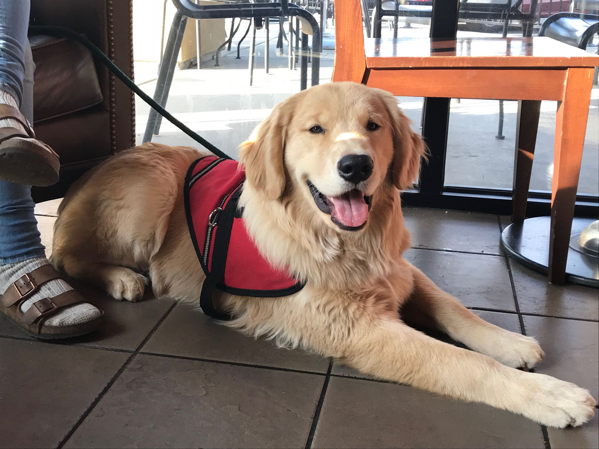 Another highly trained service dog working in a public place.