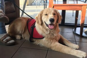 service dog in a down stay